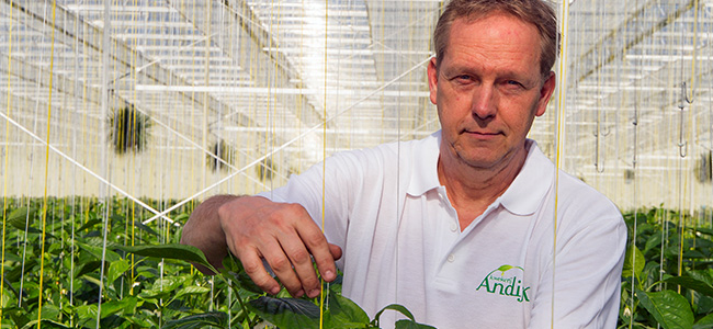 Inside of a pepper greenhouse with grower Loius Andijk.