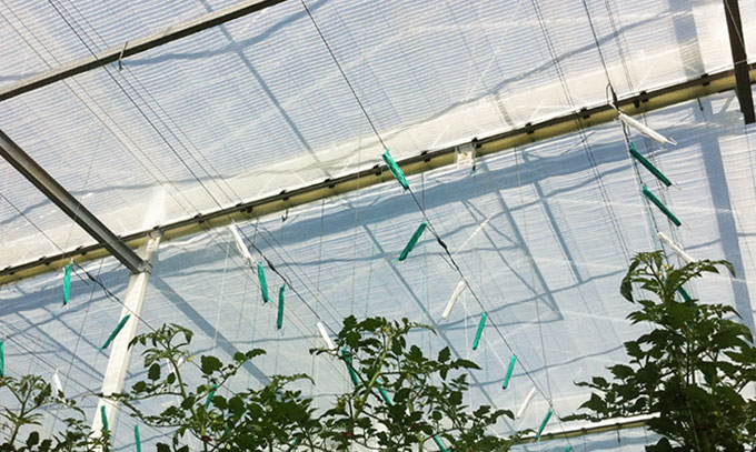 Photo: Harmony above tomato crop
