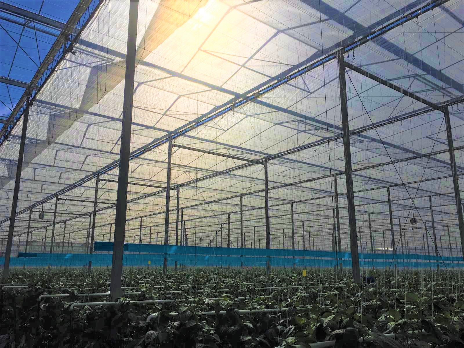 ABOVE With peppers being more sensitive to light, Allegro Acres has seen a greater need to use energy curtains in the early part of the year.